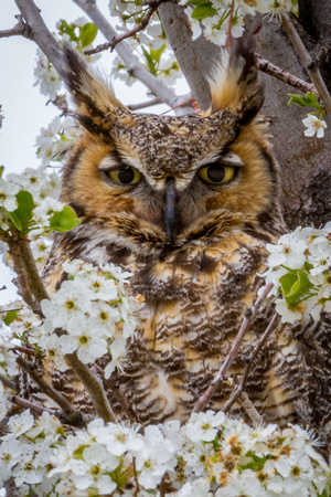 Great Horned Owl in Blossoms Vertical